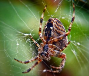 Pest: Spiders - Order Araneae
