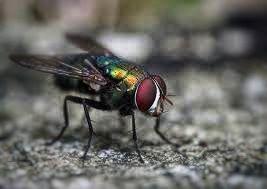 Pest: Flies - Order Diptera