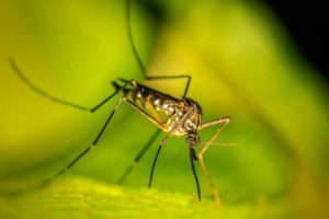 Pest: Mosquitoes -Family Culicdae