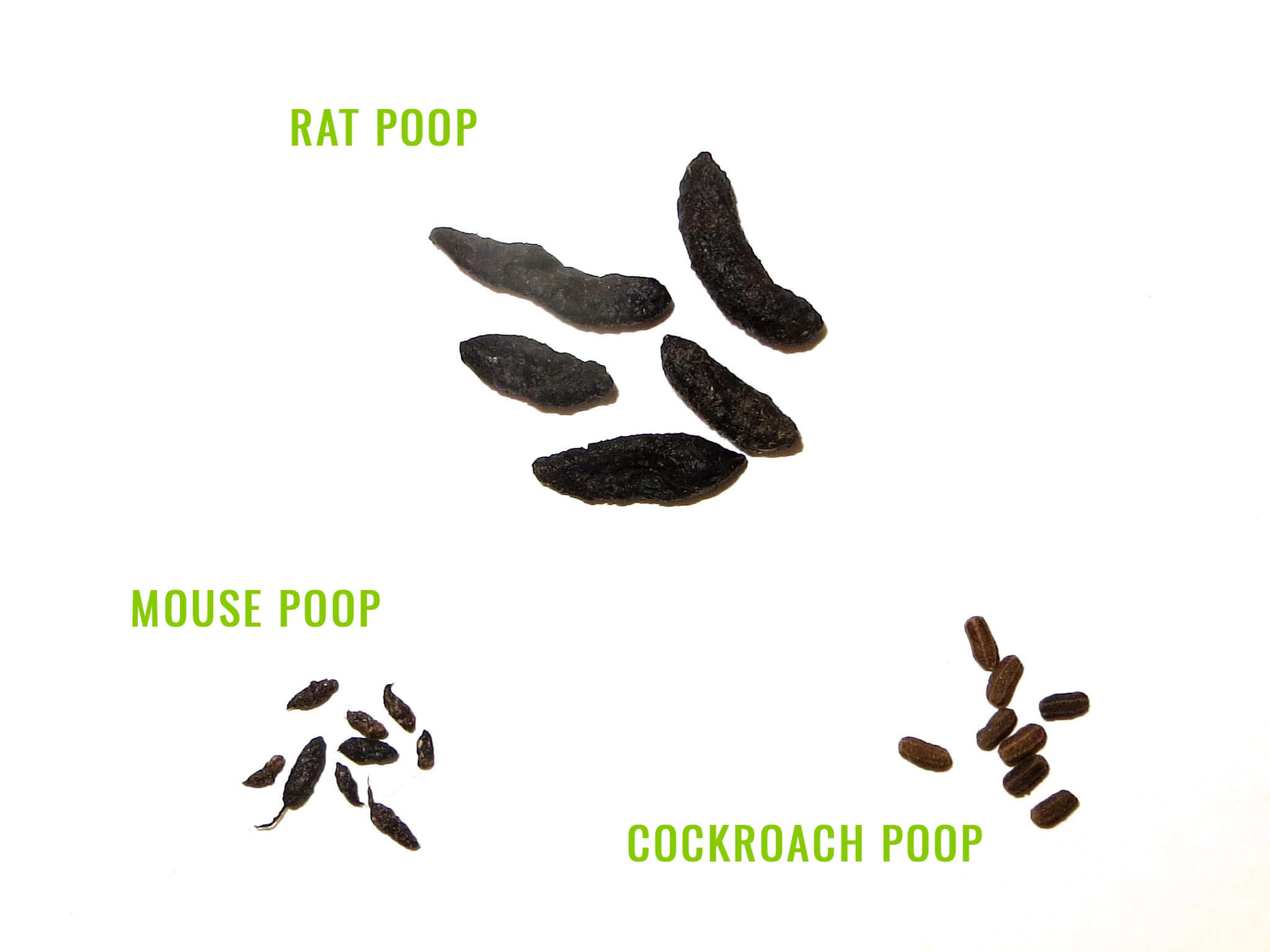 Rat poop vs Mouse poop