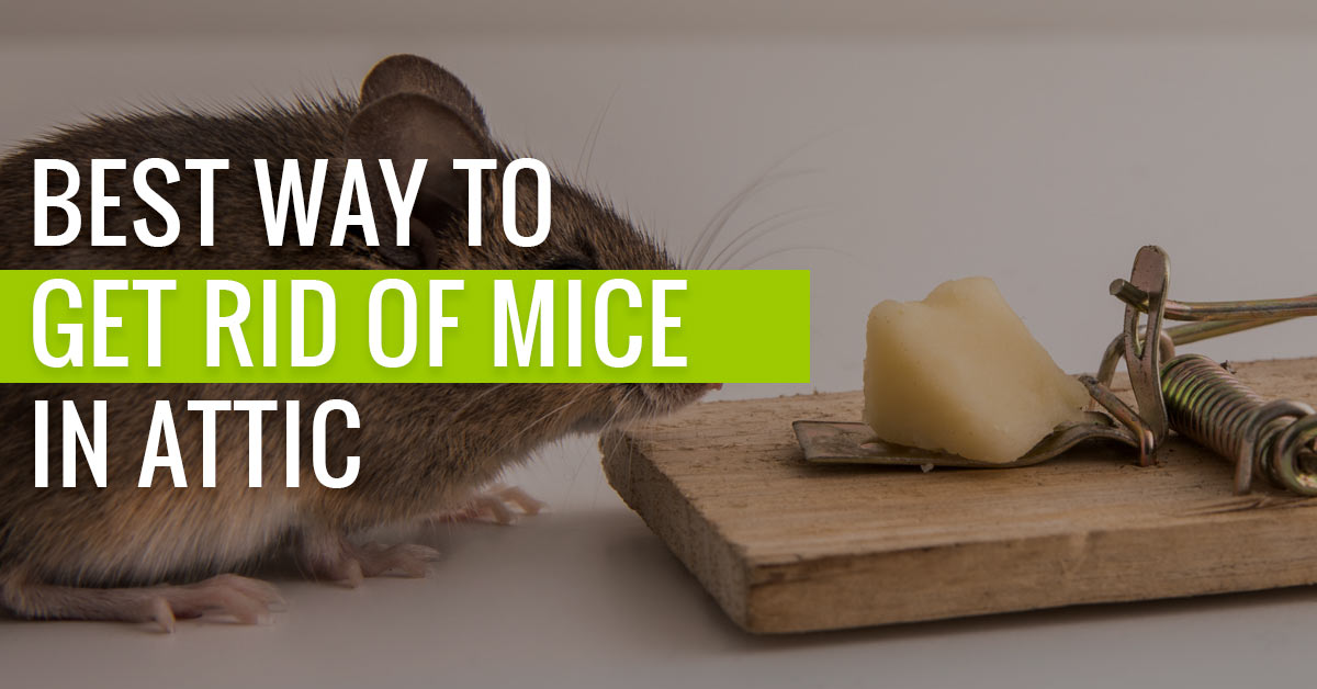 Best Way to get Rid of Mice in Attic