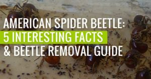 American Spider Beetle: 5 Interesting Facts & Beetle Removal Guide