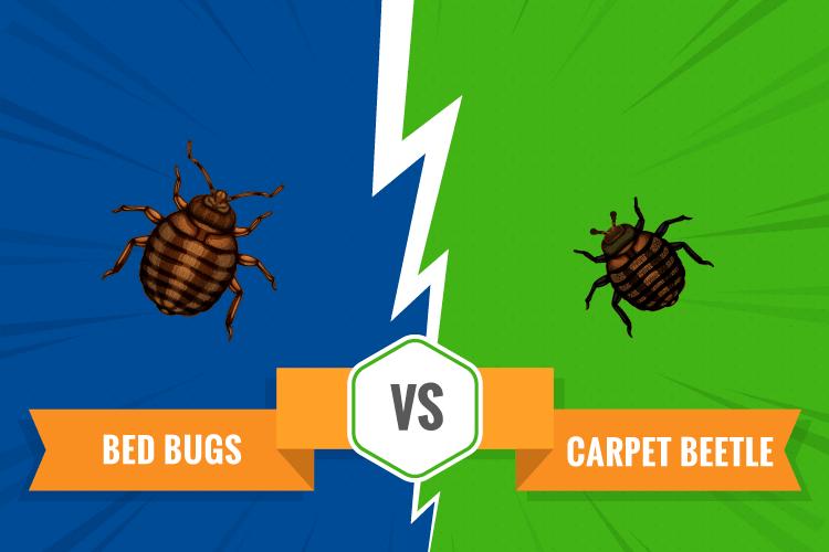 Bed Bug vs Beetle