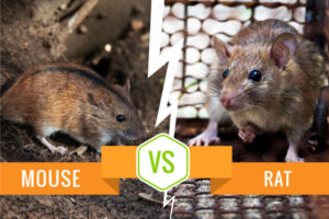 Mouse vs Rat - What's the differences?