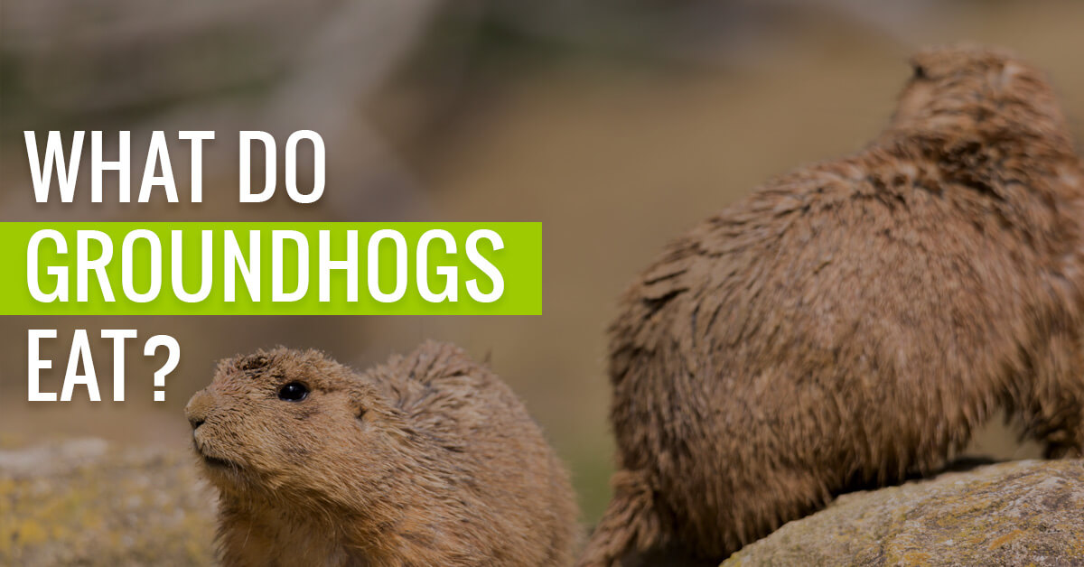 What do groundhogs actually eat?