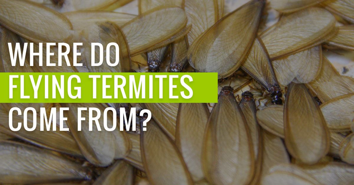 Where do Flying Termites Come From?