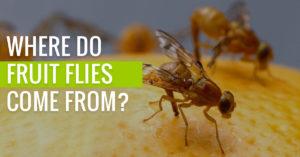 Where do fruit flies actually come from?