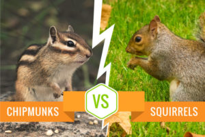 Chipmunks vs Squirrel - Comparison