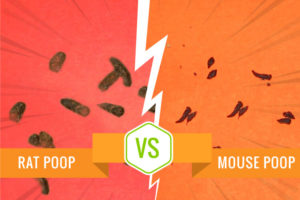 Rat Poop vs Mouse Poop - Which Rodent do you have?