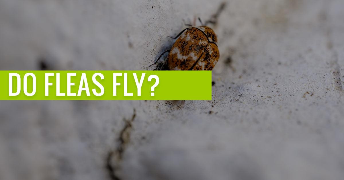 do fleas fly