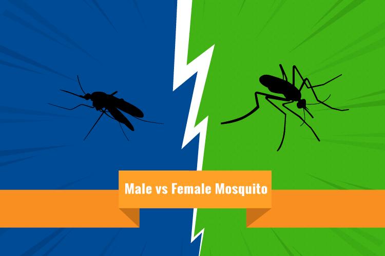 Male vs Female Mosquito: Facts