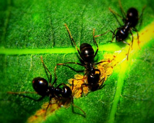Pest: Ants - Family Formicidae