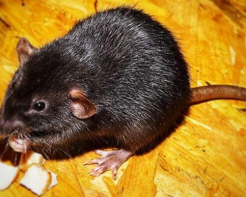 Pest: Rodents - Order Rodentia